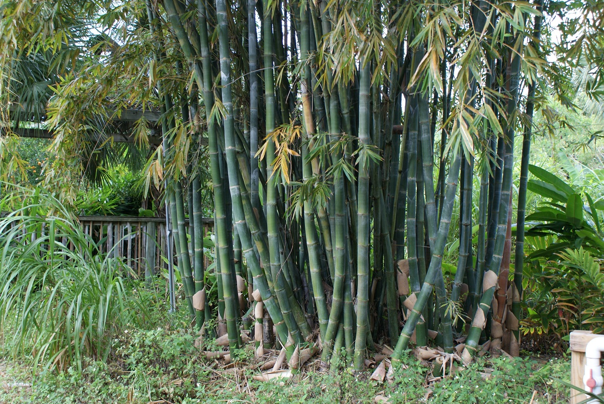 variedad de bambusa