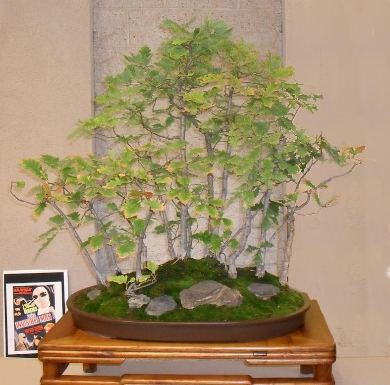Guía de cuidados del bonsái de roble