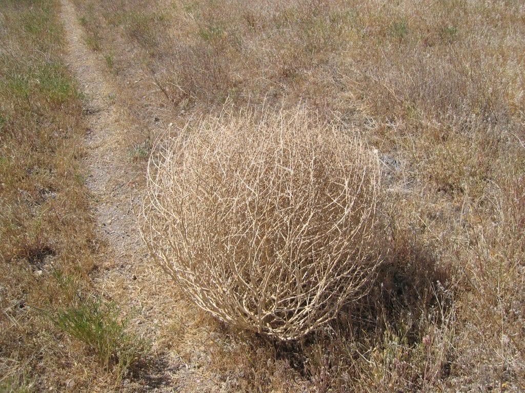 ¿Cuáles son las características de la bola del desierto?