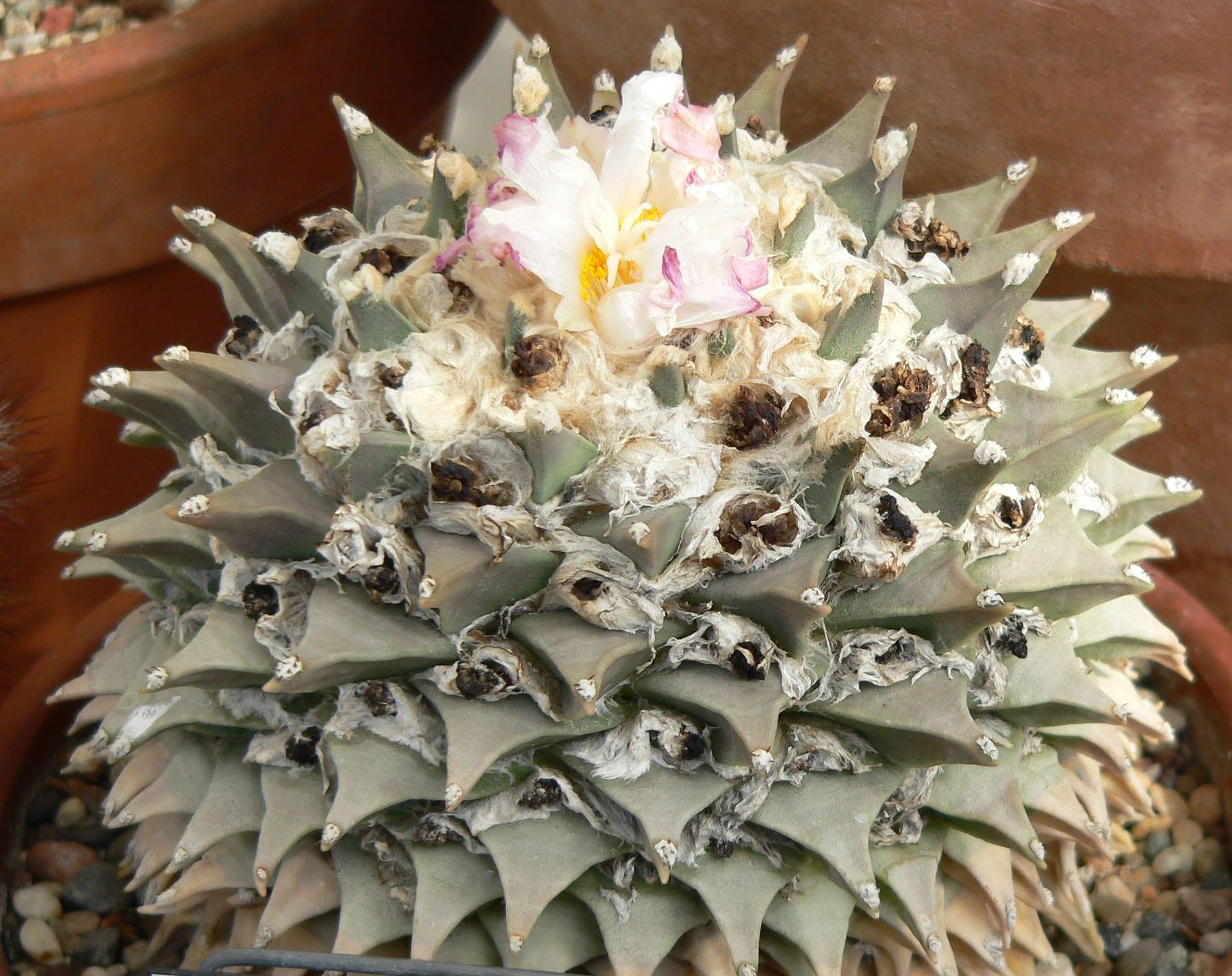 10 cactus raros y sus nombres