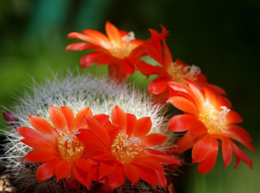 Características de los cactus y sus flores