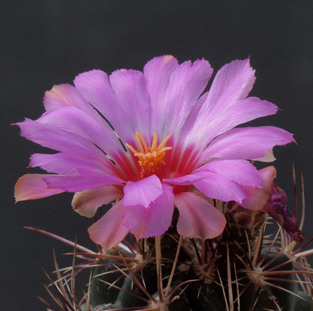 Thelocactus, una suculenta de lo más bonita