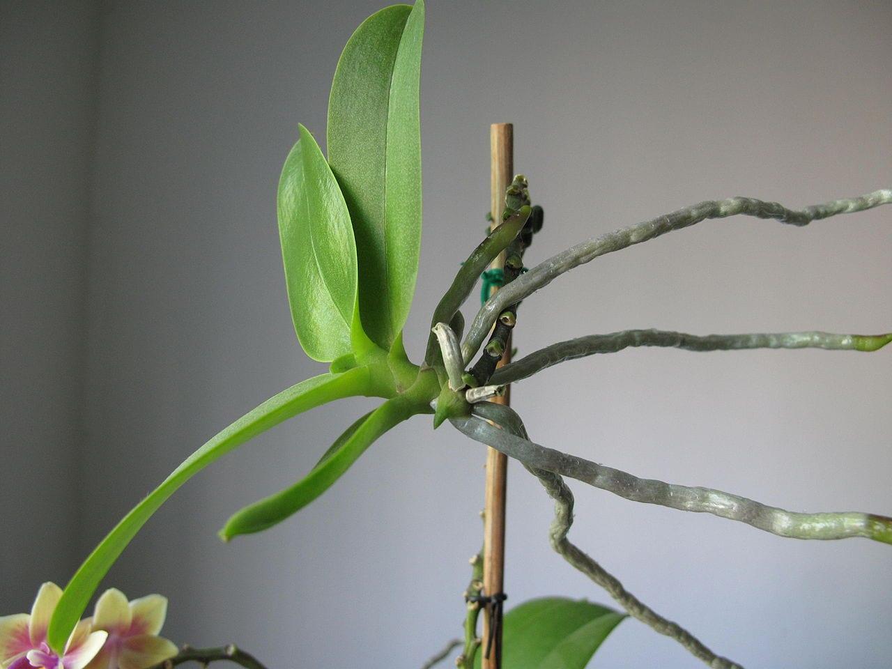 ¿Cómo reproducir orquídeas?