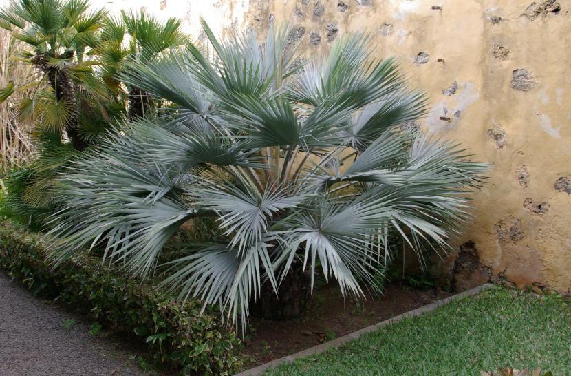 4 palmeras resistentes para tu jardín