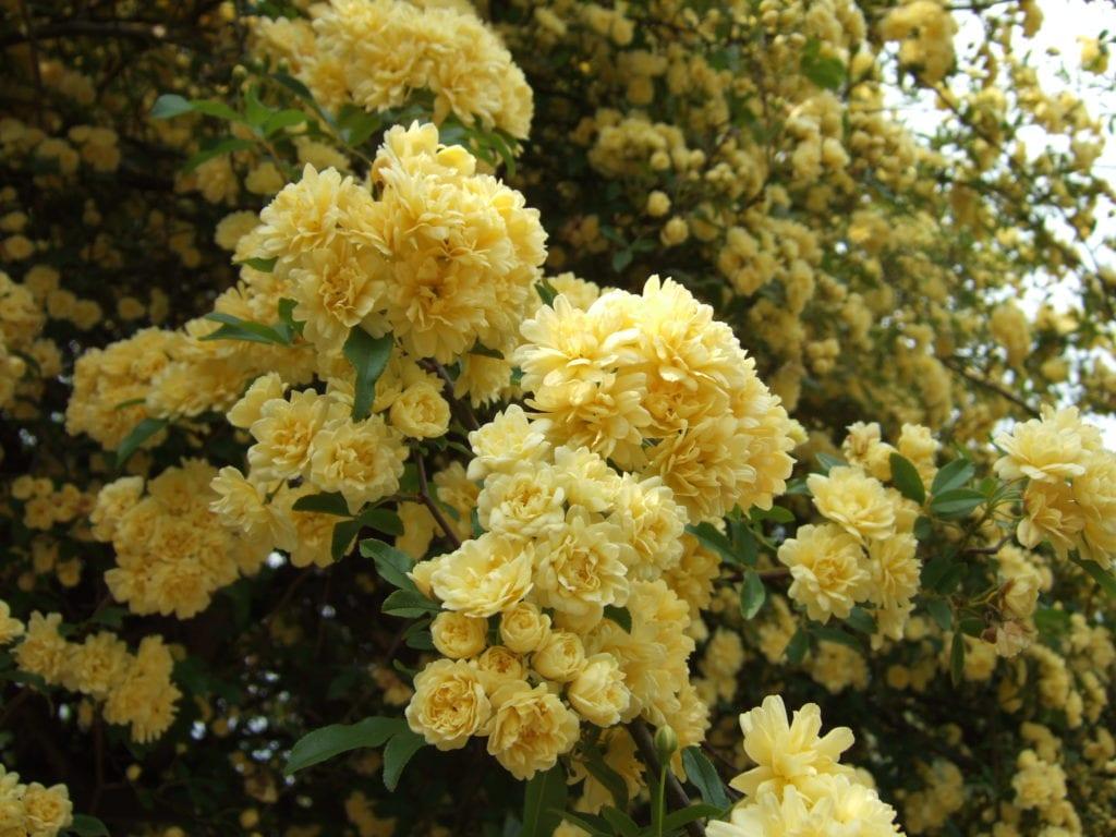 ¿Cuáles son los cuidados de los rosales trepadores en maceta?